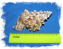 Ракушка Бурса Бубо 13-16 см