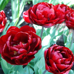 tulip-Uncle-Tom-01