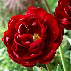tulip-Uncle-Tom-02