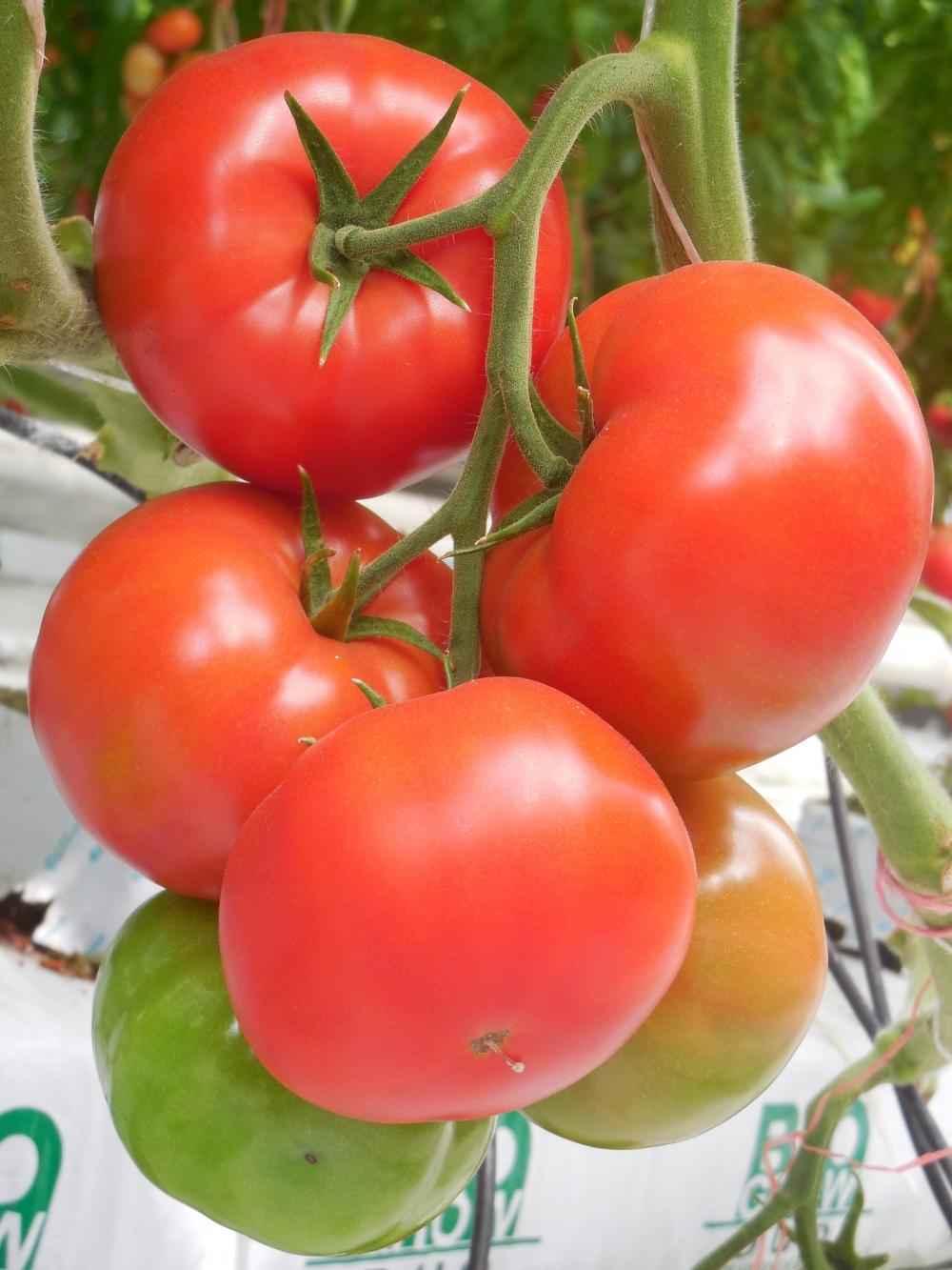 Каталог Таганрог F1 семена томата индетерминантного (Гавриш) F1_Таганрог_1.jpg
