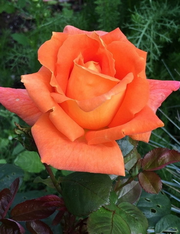 Роза чайно-гибридная Луи де Фюнес (в тубе)