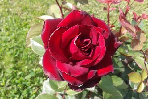 Роза чайно-гибридная Шварце Мадонна (в тубе)