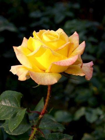 Роза чайно-гибридная Йеллоу Квин Элизабет (в тубе)