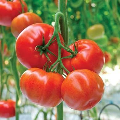 Томат Форонти F1 семена томата индетерминантного (De Ruiter Seeds / Де Ройтер Сидс) Форонти_.jpg