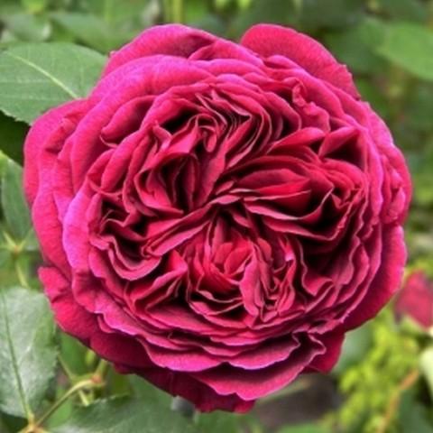 Роза английская душистая Фальстафф С6