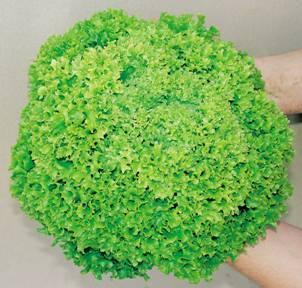 Seminis Касабелла семена салата листового (Seminis / Семинис) Касабелла__Casabella_.jpg