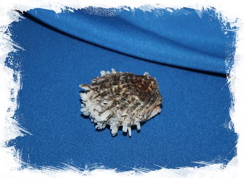 Китайский спондилус (Spondylus sinensis)