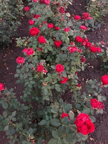 Расберри элеганс(Raspberry Elegance)