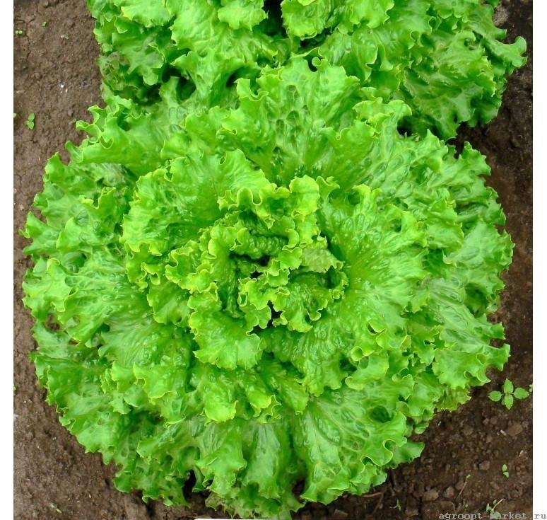 Гавриш Гейзер семена салата листового (Гавриш) гейзер.jpg