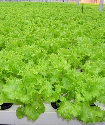 Seminis Хьюджин семена салата листового (Seminis / Семинис) ХЬЮДЖИН.JPG