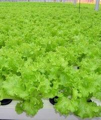 Хьюджин семена салата листового (Seminis / Семинис)