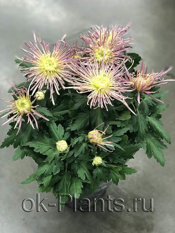 Хризантема Ховария розово-желтая
