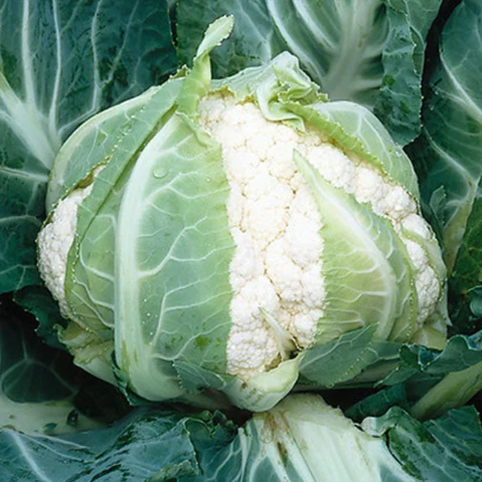 Каталог Кадиллак F1 семена капусты цветной (Syngenta / Сингента) кадиллак.jpg