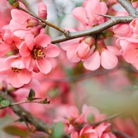 Ароматизатор TPA Cherry Blossom (PG) - Цветущая вишня
