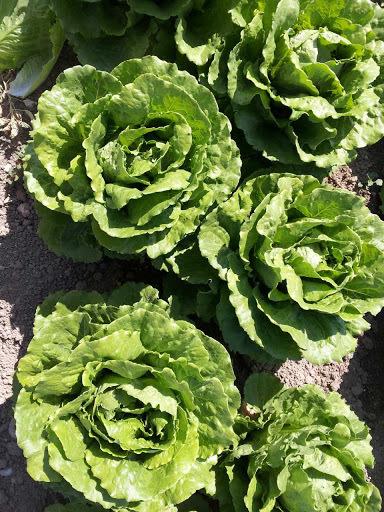 Салат Равив семена салата айсберг (Hazera / Хазера) Равив.jpg