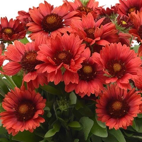 Гайлардия остистая крупноцветковая Arizona (red shades)