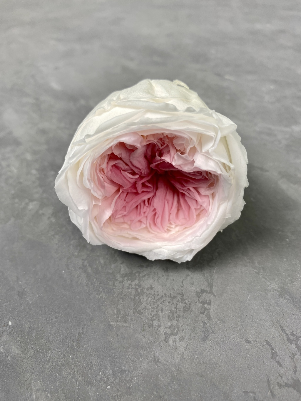 Роза пионовидная бело-розовая d=5 см