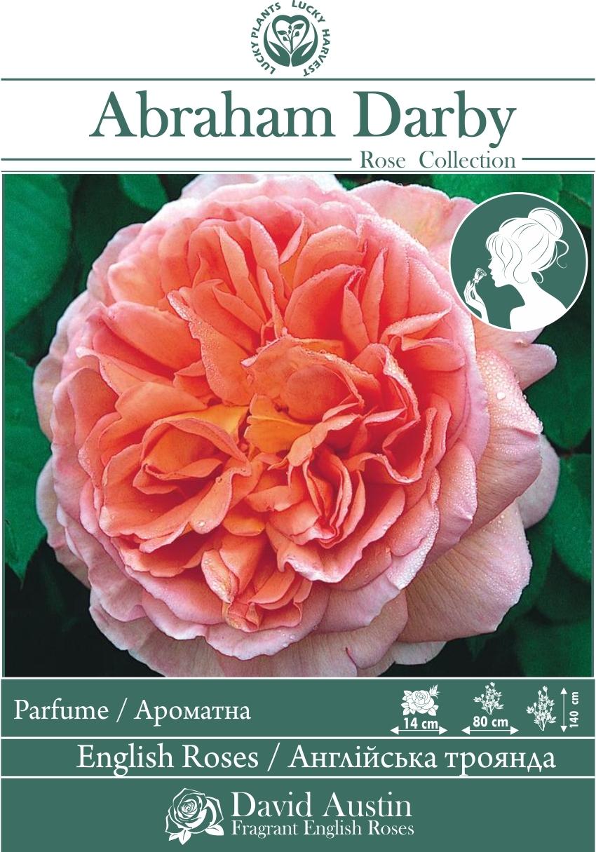 Троянда Англійська Махрова