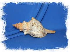 Pleuroploca trapezium