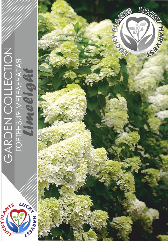 Гортензия метельчатая Лаймлайт (Hydrangea paniculata Limelight) ТМ LUCKY HARVEST