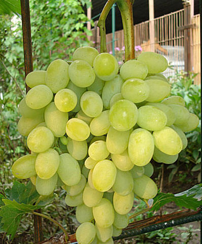 Виноград плодовый Августин (C3)-Vitis Avgustin
