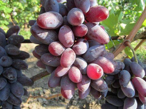 Виноград плодовый Байконур (C3)-Sadguru