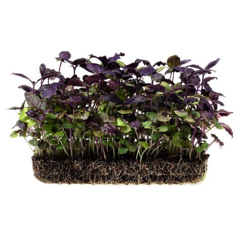 Фотография Базилик фиолетовый на корне (лоток) / 20 гр купить в магазине Афлора