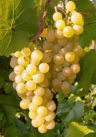 Виноград плодовый Бианка (C3)-Vitis Bianca