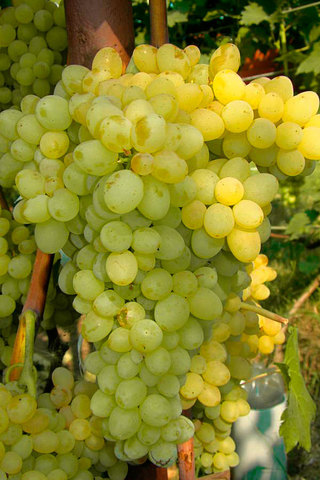 Виноград плодовый Кишмиш №342 (C3)-Vitis Kishmish №342