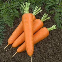 Cемена моркови Канада F1,  Bejo, 0,5 гр.