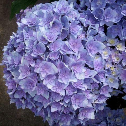 Гортензия крупнолистовая  (цветёт всё лето) Ю энд ми тугузе