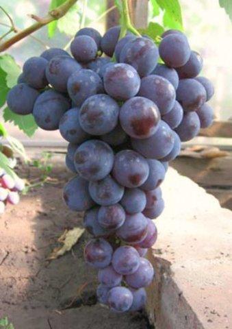 Виноград плодовый Рошфор