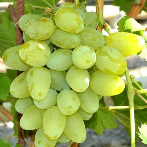 Виноград плодовый Супер-Экстра (Super Extra)