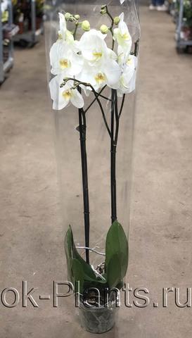 Фаленопсис Белый, 2 ветки