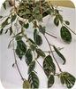 Колумнея, C. Teuscheri (Trickantha)