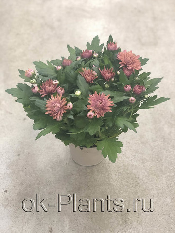 Хризантема коричневая