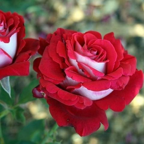 Роза чайно-гибридная Люксор (в тубе)