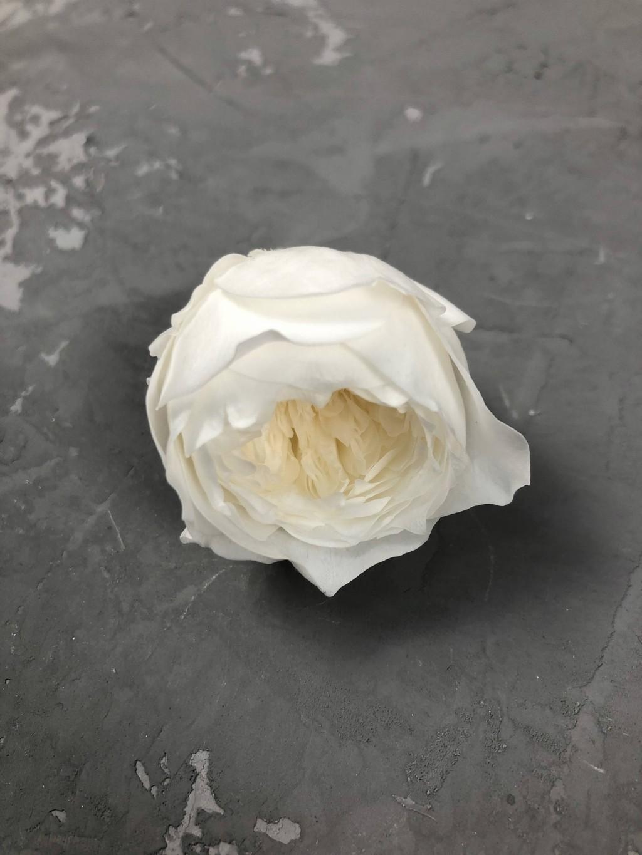 Роза пионовидная молочная d=3-4 см Уценка