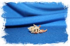 Ракушка Мурекс мартинетана, Pterynotus Martinetana