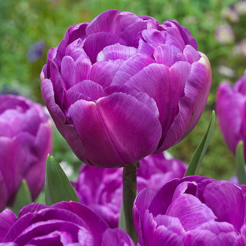 Луковичные Тюльпан махровый Блю Диамонд, 10 шт