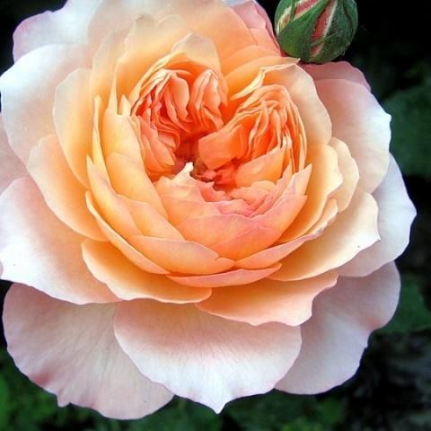 Роза парковая Андре Турка, Massad
