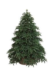 Triumph tree ель Нормандия РЕ темно-зеленая 1,55 м