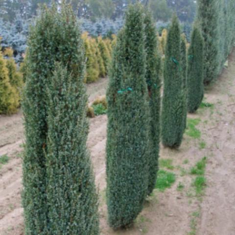 Можжевельник обыкновенный Сентинел (ком) 100-120