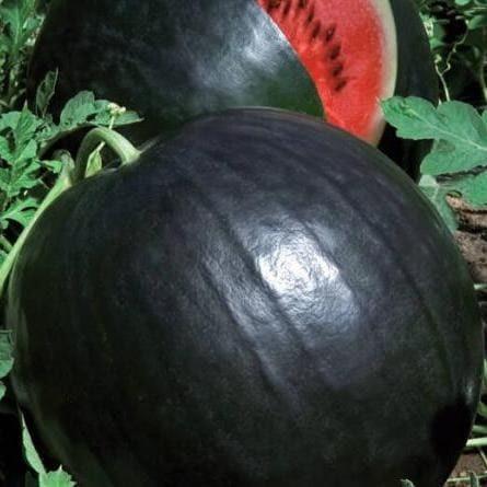 Каталог Люсия F1 семена арбуза (Vilmorin / Вильморин) Арбуз_Люсия.jpg