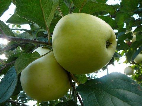 Яблоня (подвой семенной) Антоновка обыкновенная