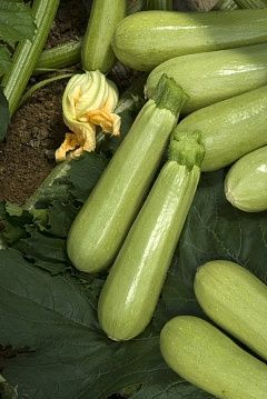 Кабачок Джетта F1 семена кабачка (Vilmorin / Вильморин) ДЖЕТТА_F1__СВС_26119F1__семена_овощей_оптом.jpg