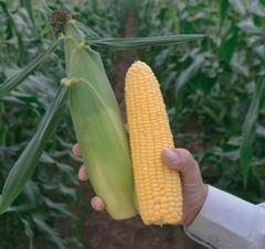 Киара F1 семена кукурузы (Clause / Клос)