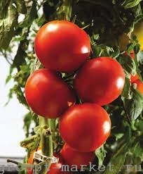 Nunhems Тамесис F1 семена томата индетерминантного (Nunhems / Нюнемс) тамесис.jpg