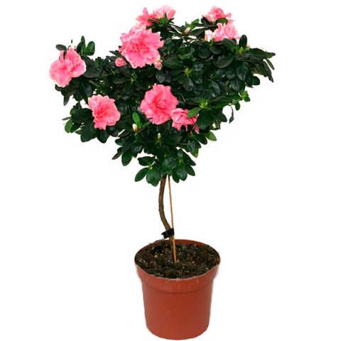 Азалия Индика штамбовая Розовая