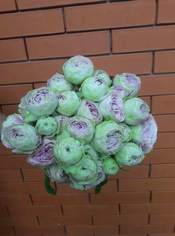 Лавандер лейс(Lavender Lace)